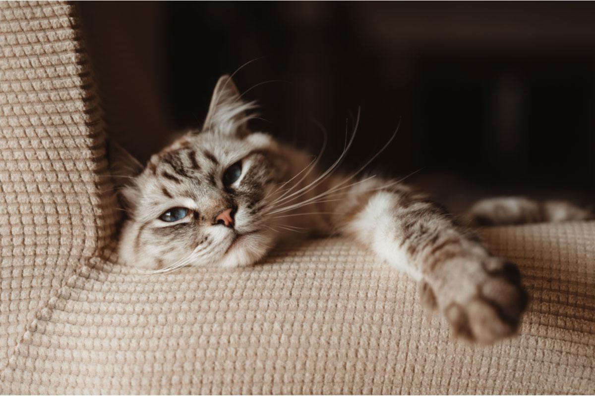 lynx ragdoll cat