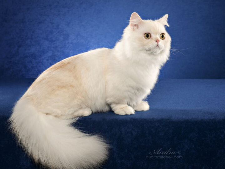 Napoleon Cat: 13 Things You Need to Know About This Adorable Feline