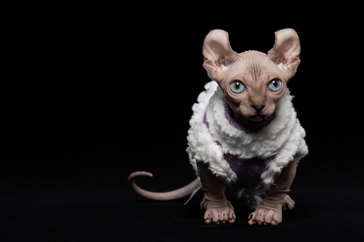 pink dwelf cat wearing jumper