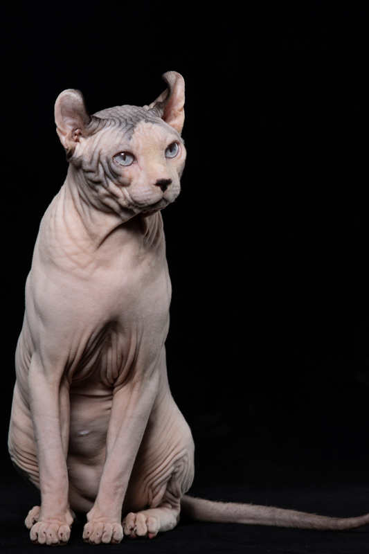 pink dwelf cat with black background