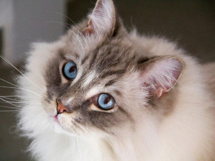 Ragdoll Cat Personality: 12 Characteristics That Make Them Even Cuter