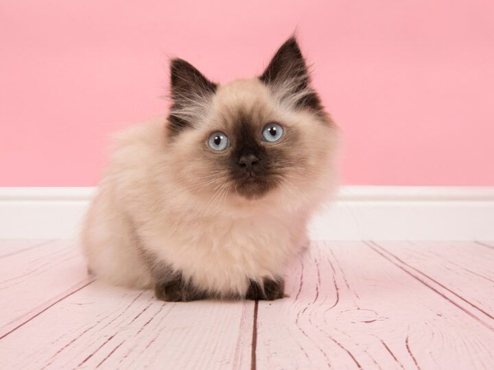 Seal Point Ragdoll Cats: 12 Things That Make Them Even Cuter