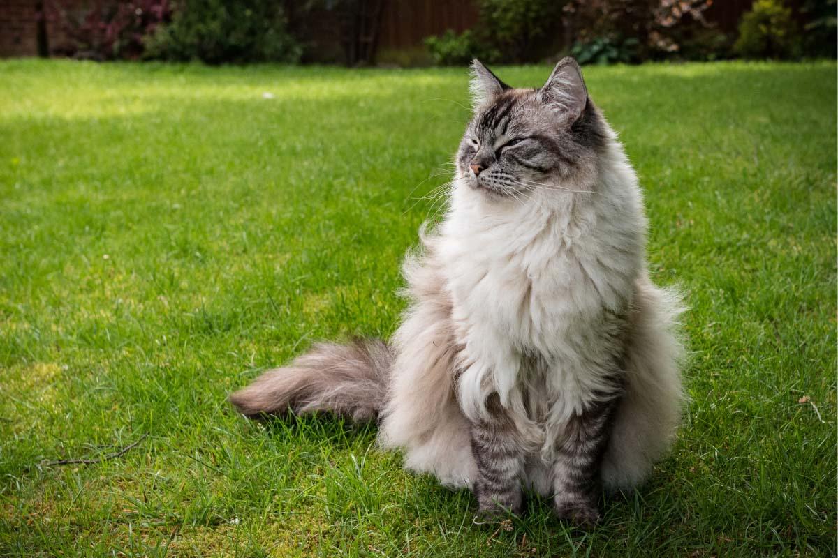 ragdoll cat on grass