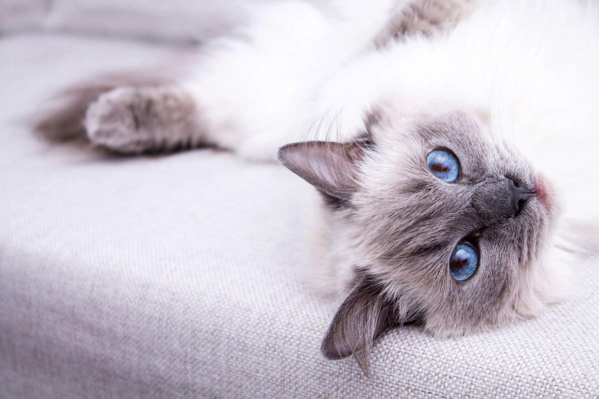ragdoll cat staring
