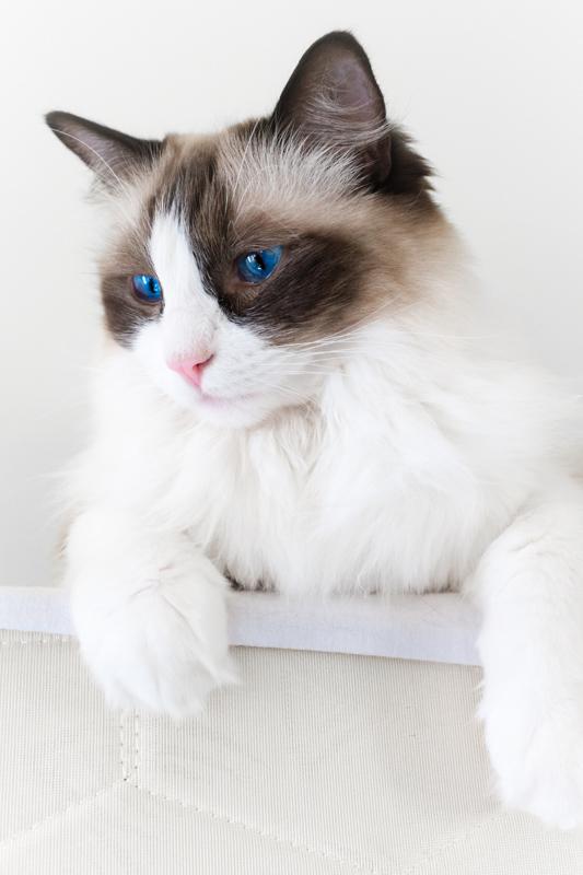 ragdoll cat white mittens