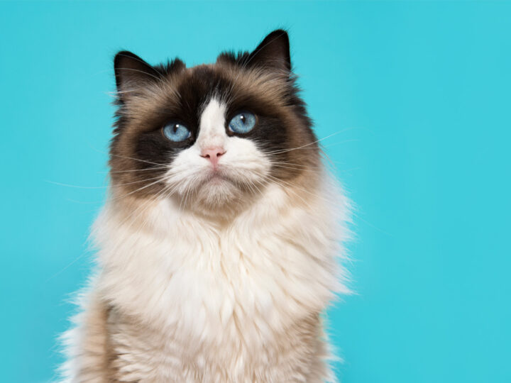 13 Types of Ragdoll Cat Colors and Coat Patterns You'll Love