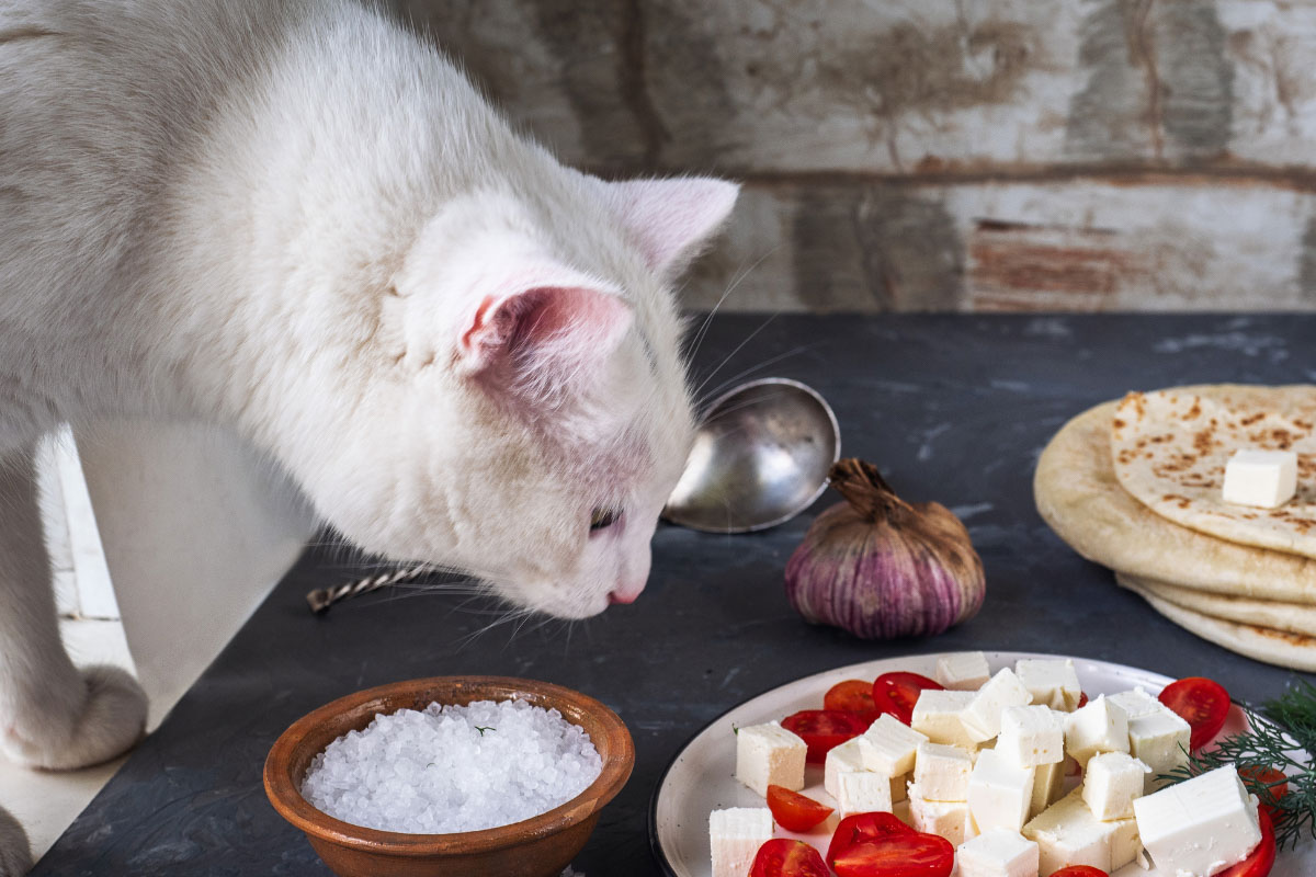 white cat looking at plate of cheese