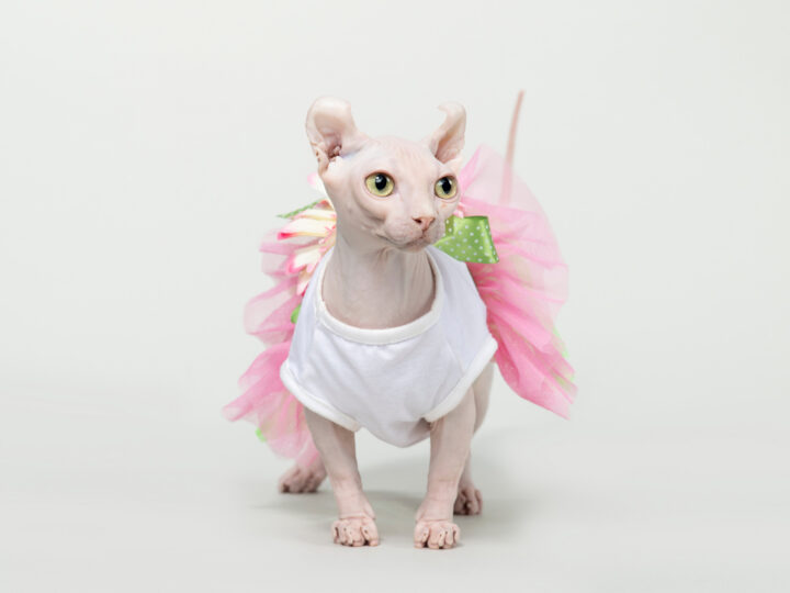 Dwelf Cat: 13 Things to Know About This Unique Breed