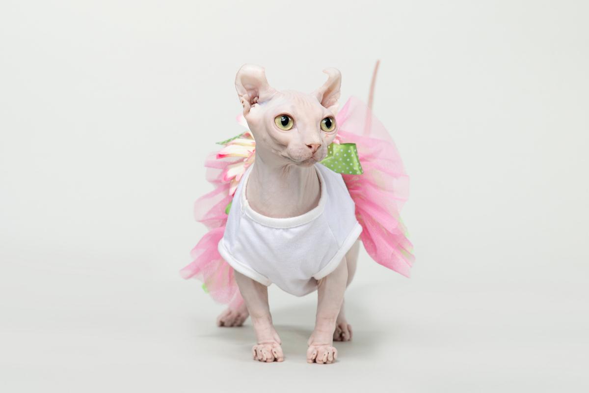white dwelf cat wearing pink tutu