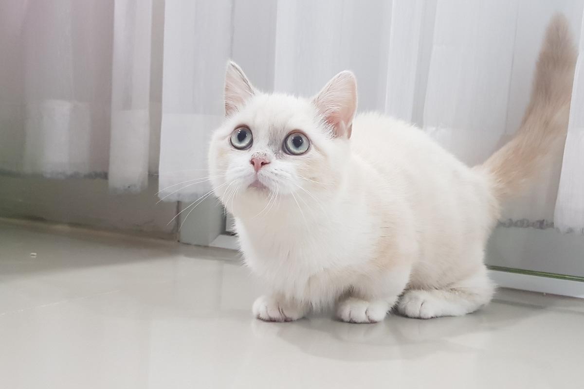 white kinkalow
