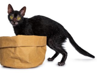 black lykoi cat with brown paper bag