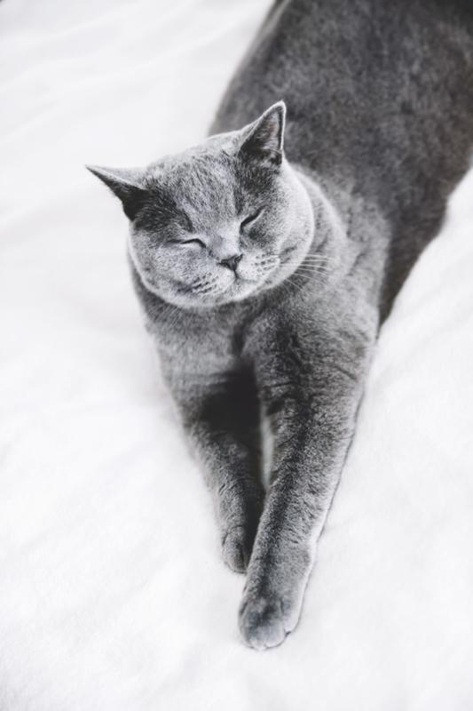 british short hair chincilla black and white