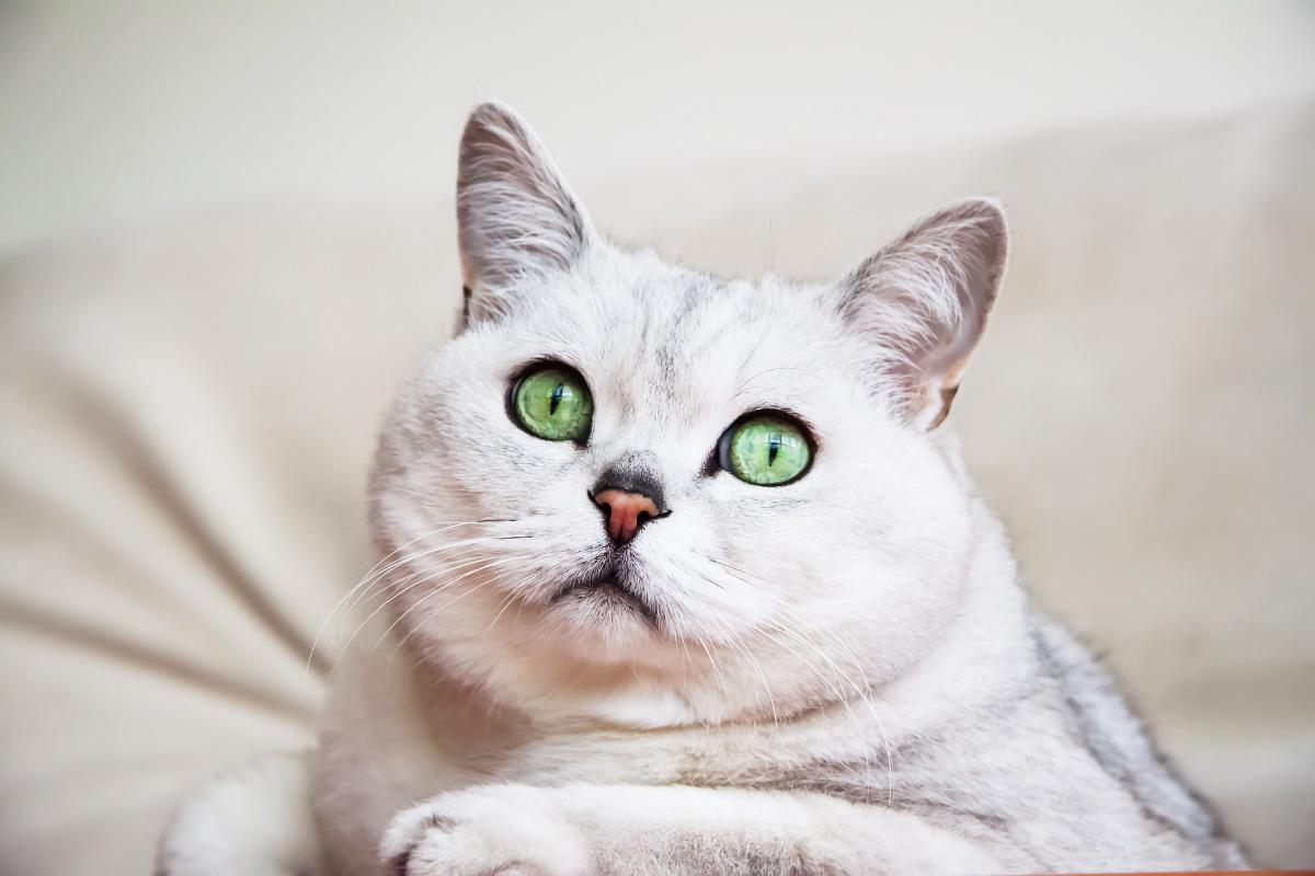 british short hair chincilla green eyes