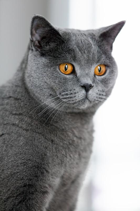 british short hair chincilla in profile