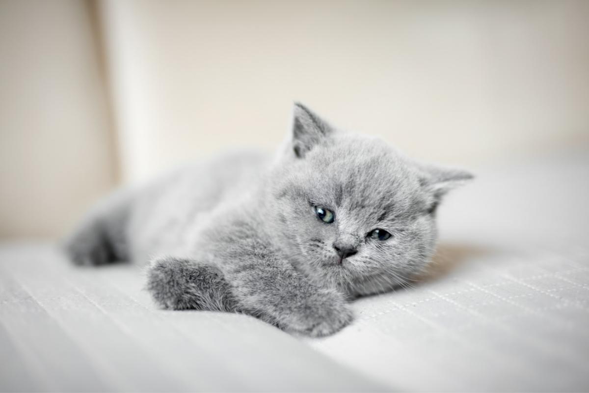 british short hair chincilla kitten upright