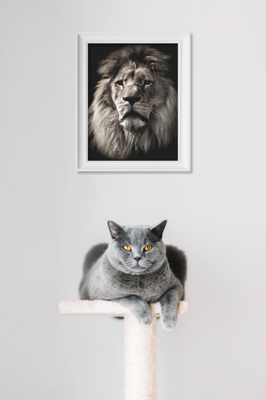 british short hair chincilla on stand with lion picture