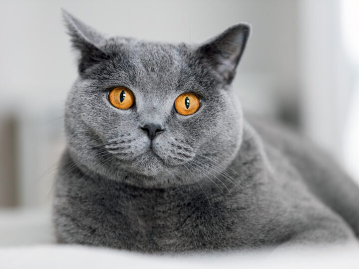 British Shorthair Chinchilla   13 Things to Know About BSH Kitties
