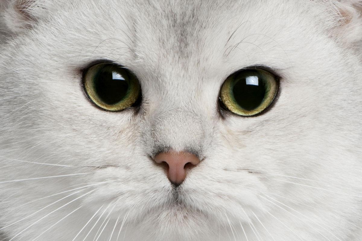 british short hair chincilla white up close