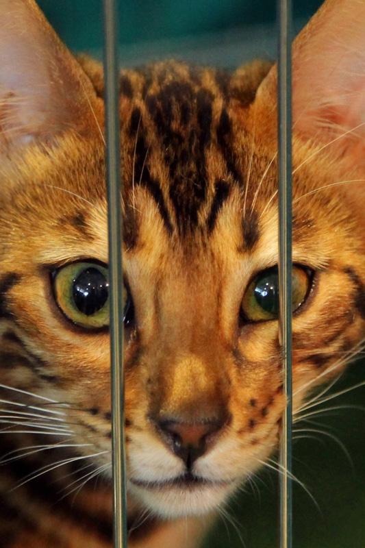 ginger toyger cat up close