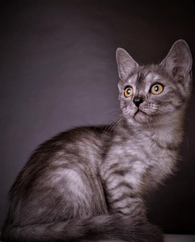 grey lykoi cat