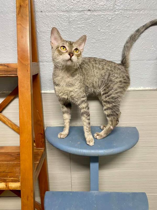 grey tabby lykoi cat on stool