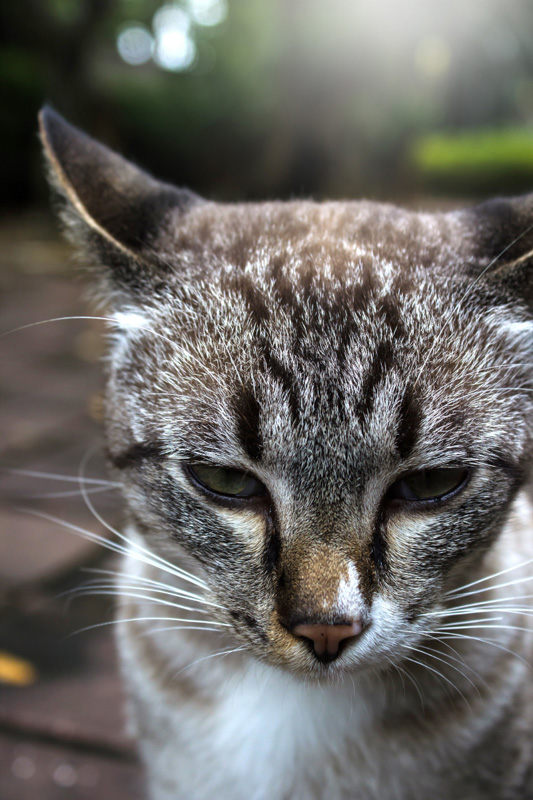 grey tabby toyger cat