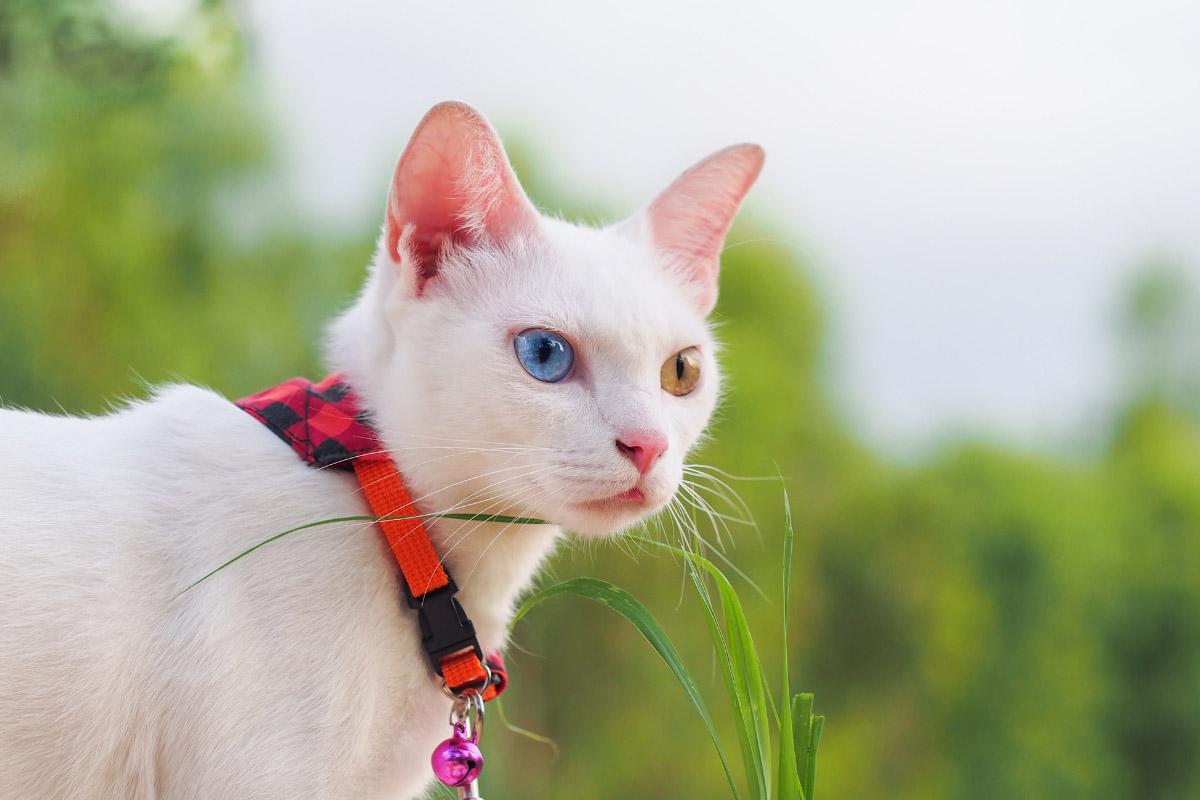 khao manee wearing collar