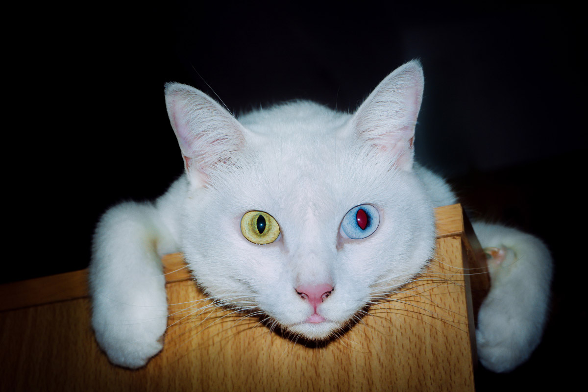 khao manee with different color eyes