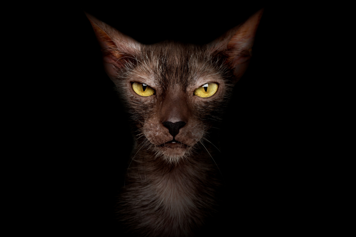lykoi cat in the dark