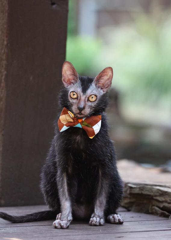 lykoi cat with bowtie