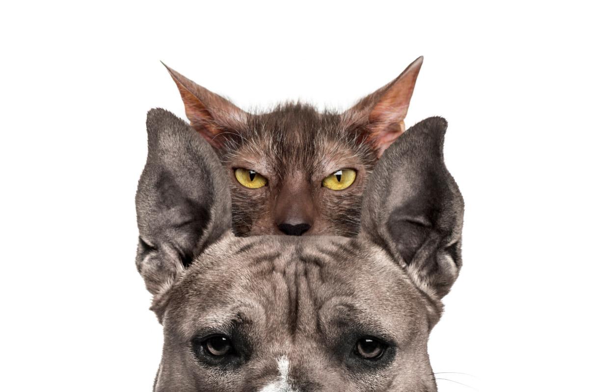 lykoi cat with bull mastiff