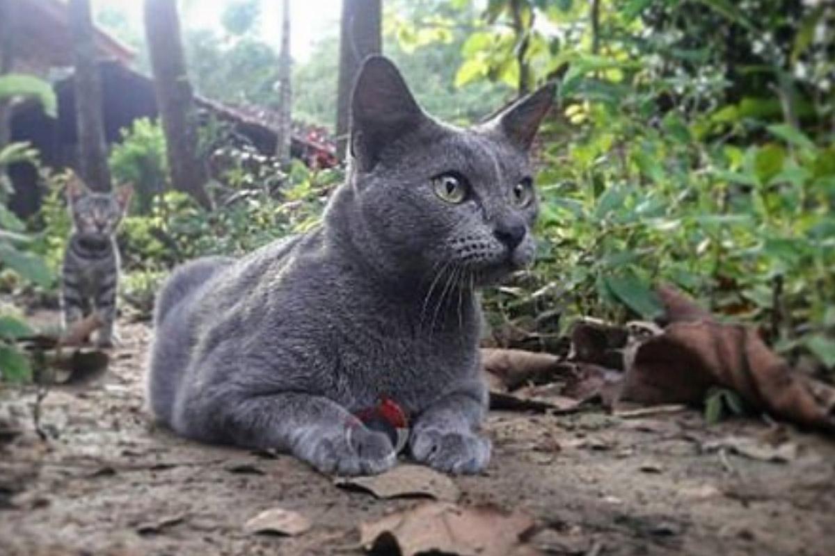 raas cat grey 1