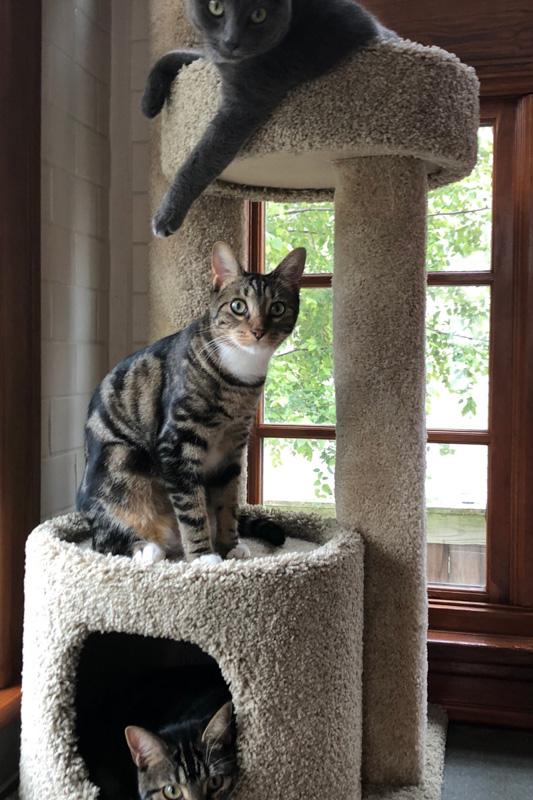 sokoke cat on scratching tower