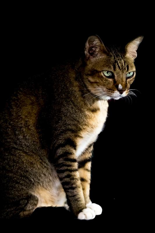toyger cat against dark background