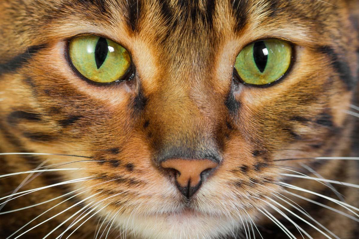 toyger cat upclose