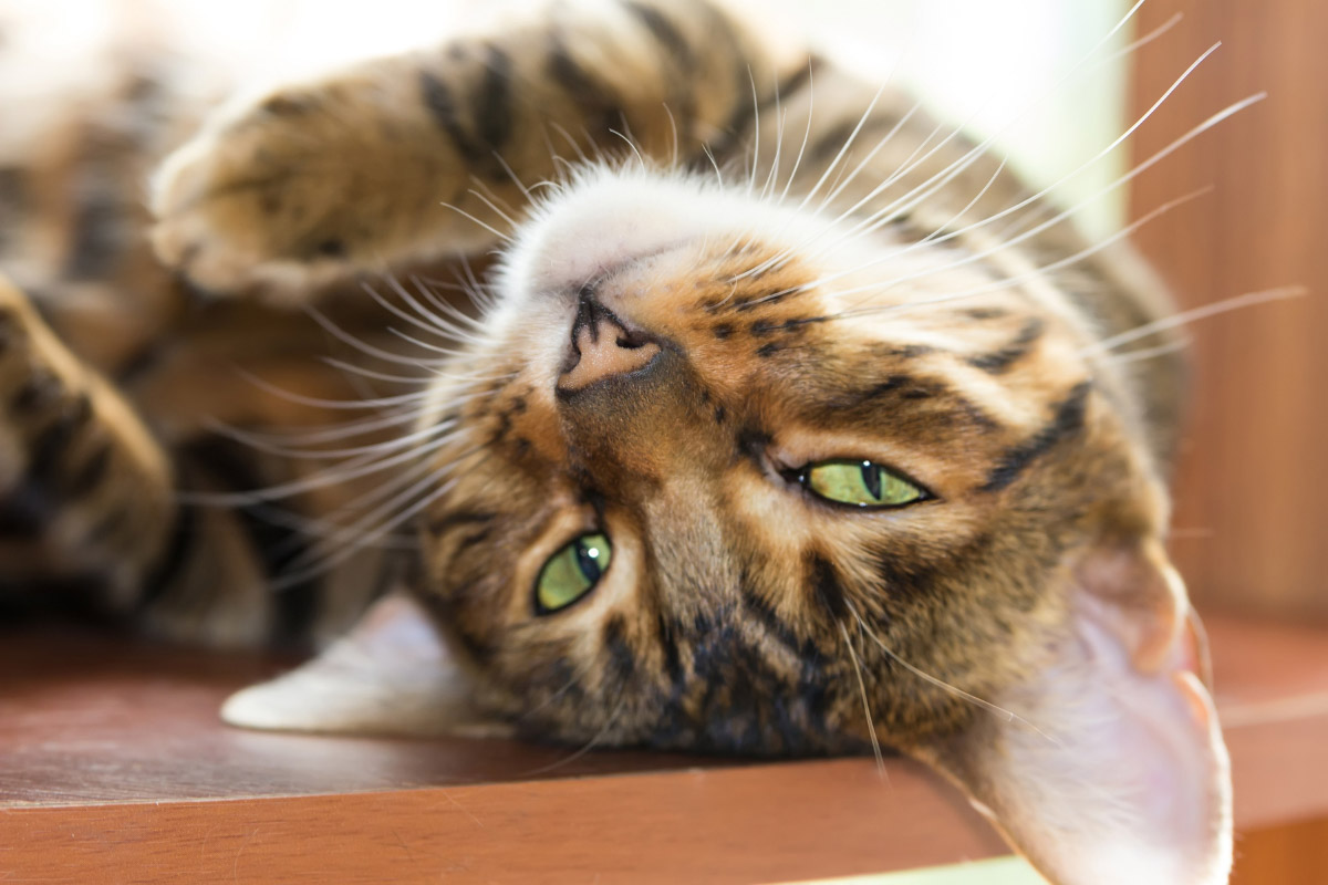 toyger cat upside down