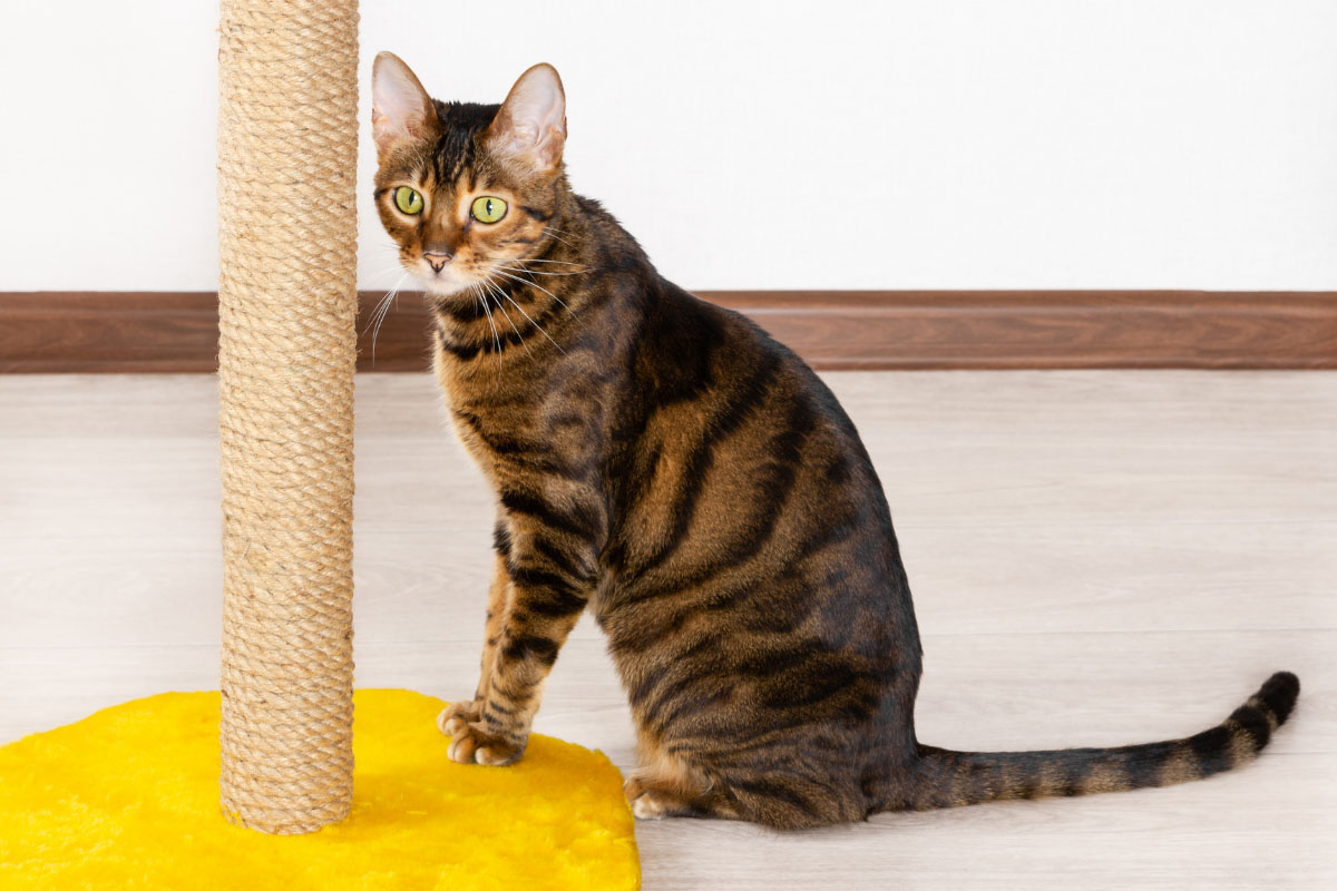 toyger cat with scratching post