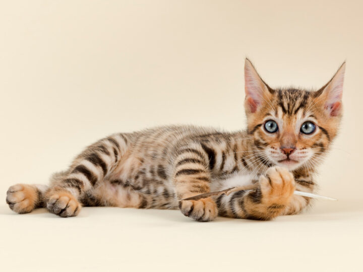 Toyger Cat: 13 Things You Need To Know