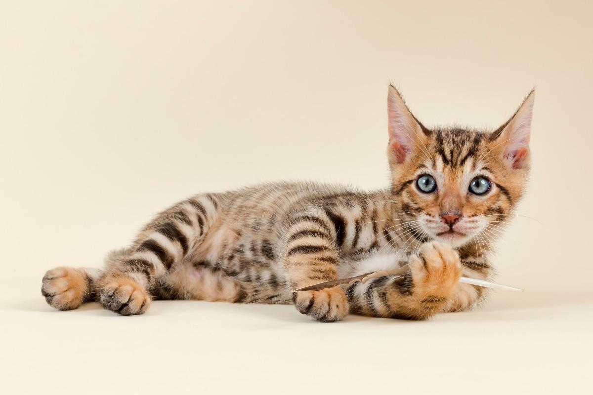 toyger kitten staring at camera