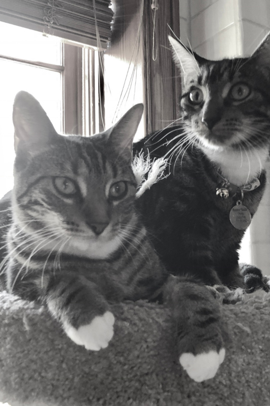two sokoke cats black and white