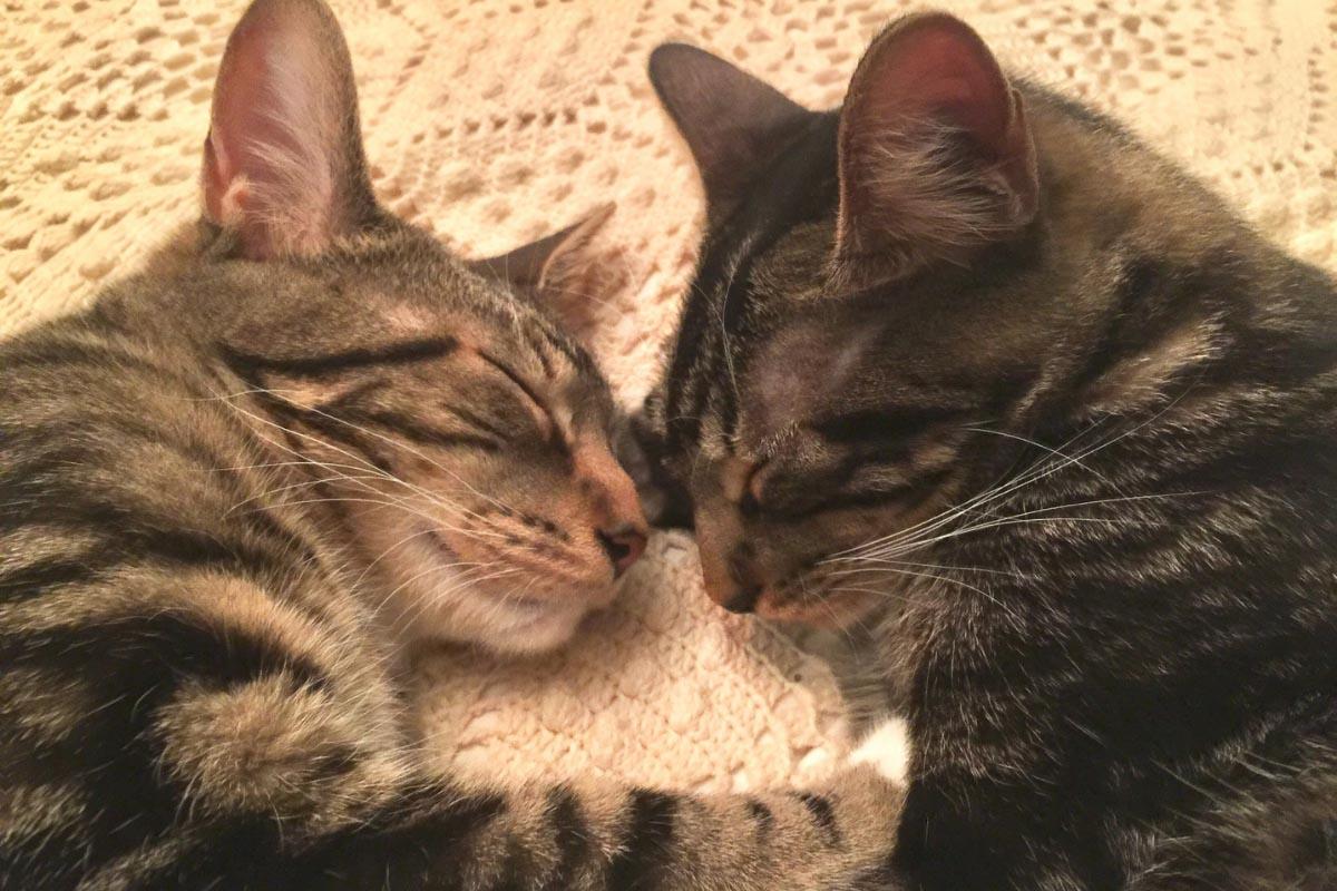 two sokoke cats nibbling